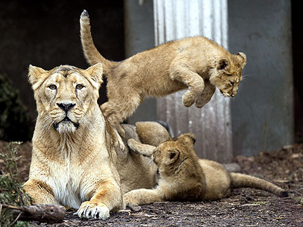 Lion Cubs Pounce on Public Debut