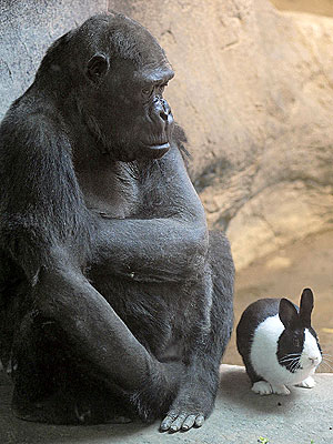 No Big Deal: Gorilla and Dutch Rabbit Are Adorable Friends