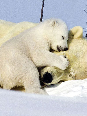 Aww! Polar Bear Cub Cuddles Mom in Snow