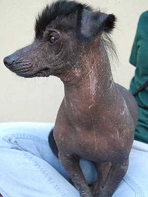 Adopt Me! Hairless Scotty Wants to Be Your Little Stunner