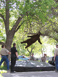 Tranquilized Bear Falls from Tree