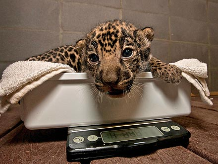 Cute Photo: Jaguar Cub Gets on the Scale