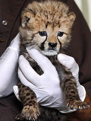 Rare C-Section Cheetah Cub Gets a Helping Hand