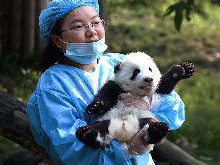 Hello, World! Panda Cub Greets Public