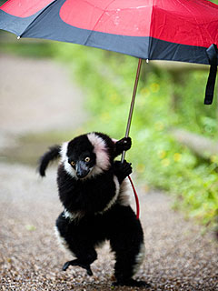 Lemur Stays Dry Under an Umbrella
