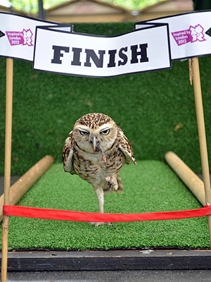 Bob the Owl Runs 100 Centimeter Sprint in London