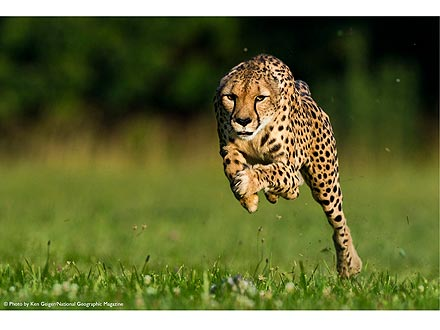 Cincinnati Zoo Cheetah Sets New Speed Record