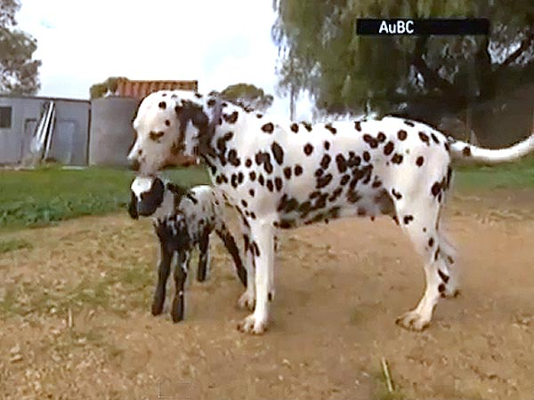 Dalmatian Adopts Spotted Lamb in Australia