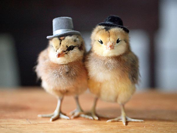 Chicken Pet Quote: Quotes About Baby Chicks. QuotesGram
