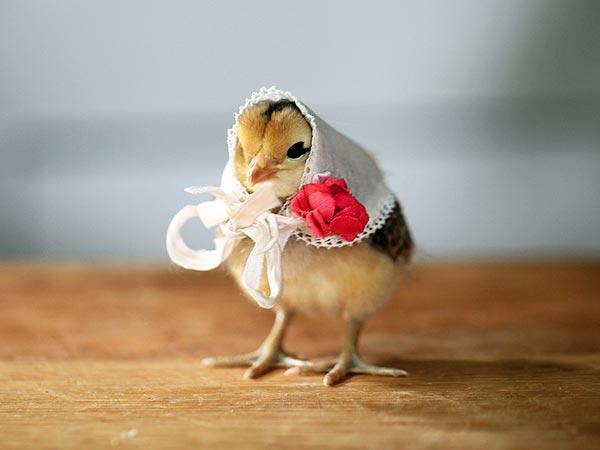 Chicken Pet Quote: The Random PICTURE Thread