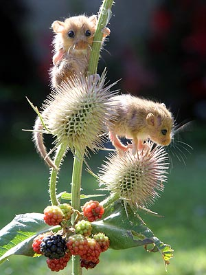 Dormice Climb Blackberry Bush