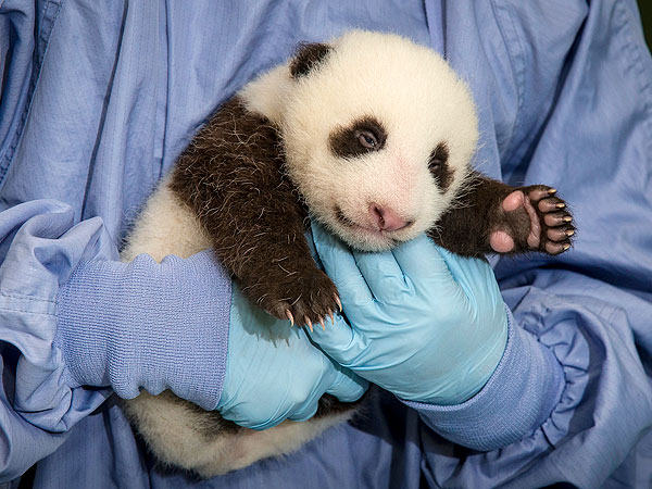 Baby Panda Update: Eyes Are Open!