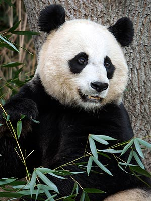 Mei Xiang Gives Birth to Cub at National Zoo