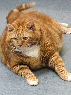 Skinny the Cat: Now 37 Lbs.