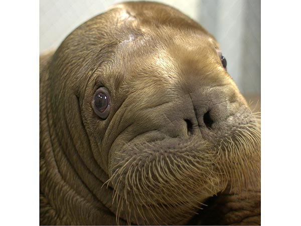 Mitik the Baby Walrus Safe After Hurricane Sandy