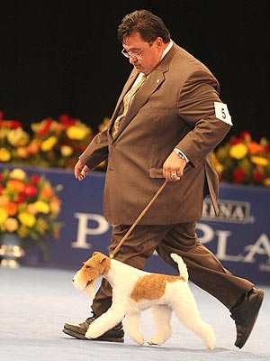 wire fox terrier sky wins best in show at national dog show dog show 300x400