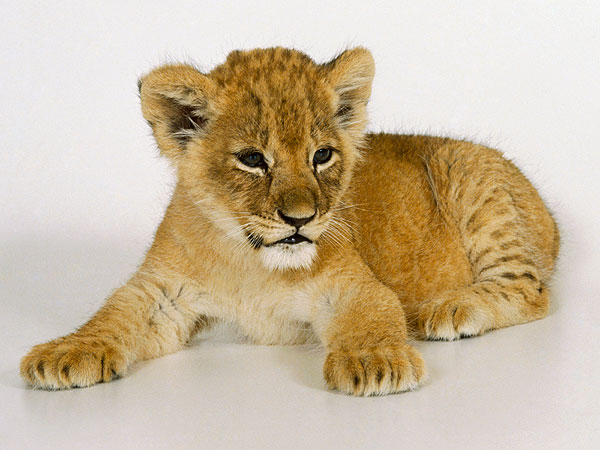 Russian Children Bring Escaped Lion Cub to School