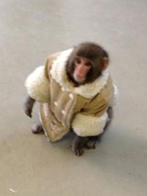 Darwin the Ikea Monkey Resettled at Story Book Farm Primate Sanctuary