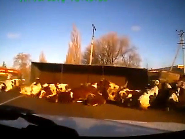 Video: Truck Tips Over, Cows Seem Fine