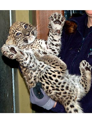 Persian Leopard at Augsburg Zoo: Photo