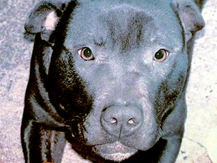 Pit Bull Lennox Put Down in Belfast