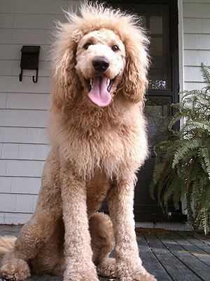 Woman Mistakes Labradoodle for Baby Lion in Virginia