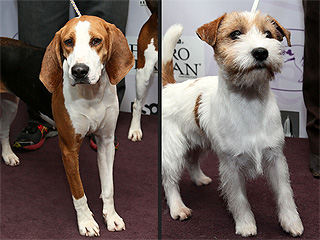 Two New Breeds to Compete at Westminster Kennel Club Dog Show