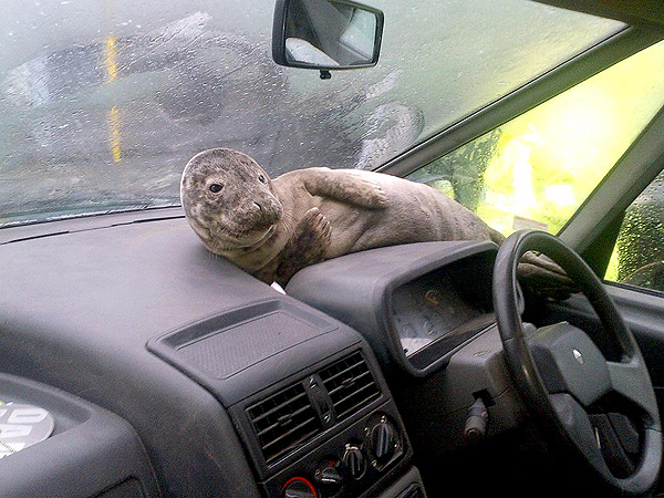 Seal Pup Watches Storm from Car Dashboard: Photo