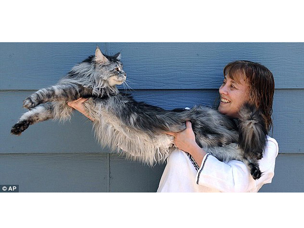 Stewie the World's Longest Cat Dies From Cancer at Age 8