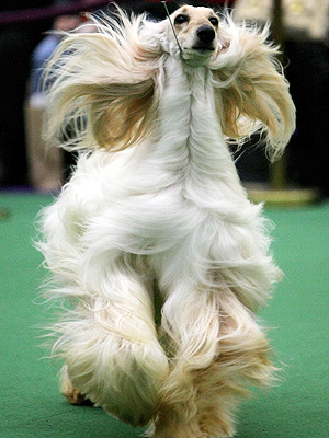 Westminster Kennel Club Dog Show: No Performance-Enhanced Dogs