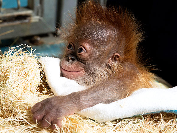 Baby Orangutan Smiles for Cameras After Risky Birth