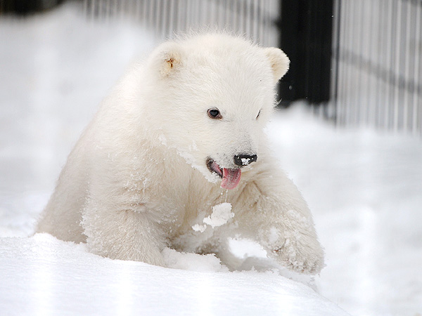 The Daily Treat: Orphaned Polar Bear Cub Is Sticking His Tongue Out at You
