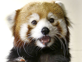 The Daily Treat: Red Panda Just Wants to Catch Up Soon