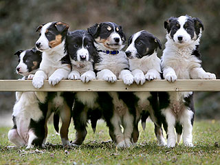 The Daily Treat: Border Collie Puppies Pose for Family Portrait