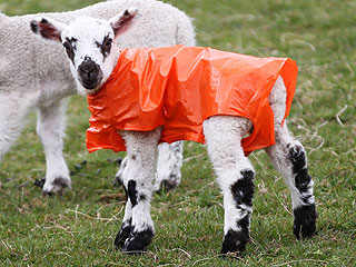 The Daily Treat: Lamb Stays Warm in Style