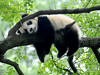 The Daily Treat: Too-Tired-to-Care Panda Naps on Tree Branch
