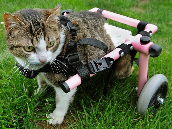 The Daily Treat: Kitten in Wheelchair Just Rolls with It