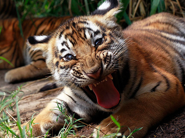 Tiger Cub in San Salvador: Photo