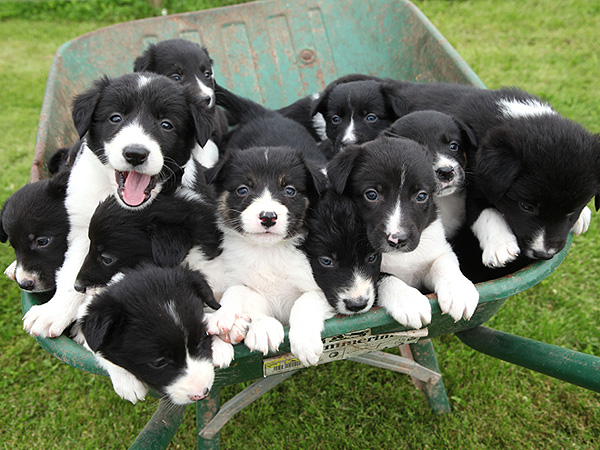 Puppies in a Wheelbarrow: Photo
