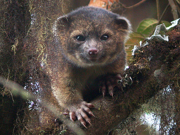 Olinguito, Raccoon Teddy Bear New Species, Discovered