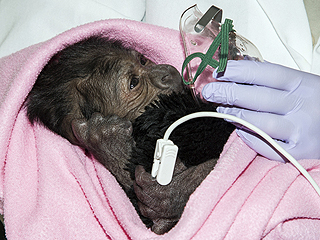 Doctors Watching Over Baby Gorilla Born via C-section at San Diego Zoo