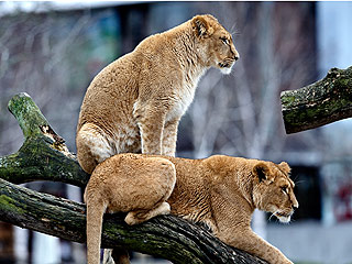 Danish Zoo Under Fire for Putting Down Four Lions