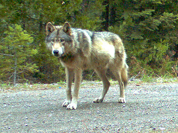 Gray Wolf Pets Endangered Oregon Gray Wolf