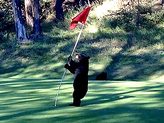 Watch This Bear Cub Enjoy an Adorable Game of Golf