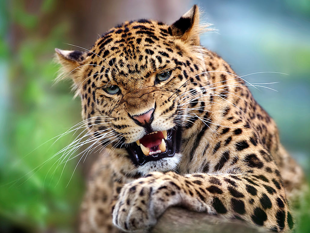 India's Latest Serial Killer Is a Leopard