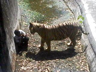 White Tiger Kills Man Who Climbed into Enclosure at Indian Zoo