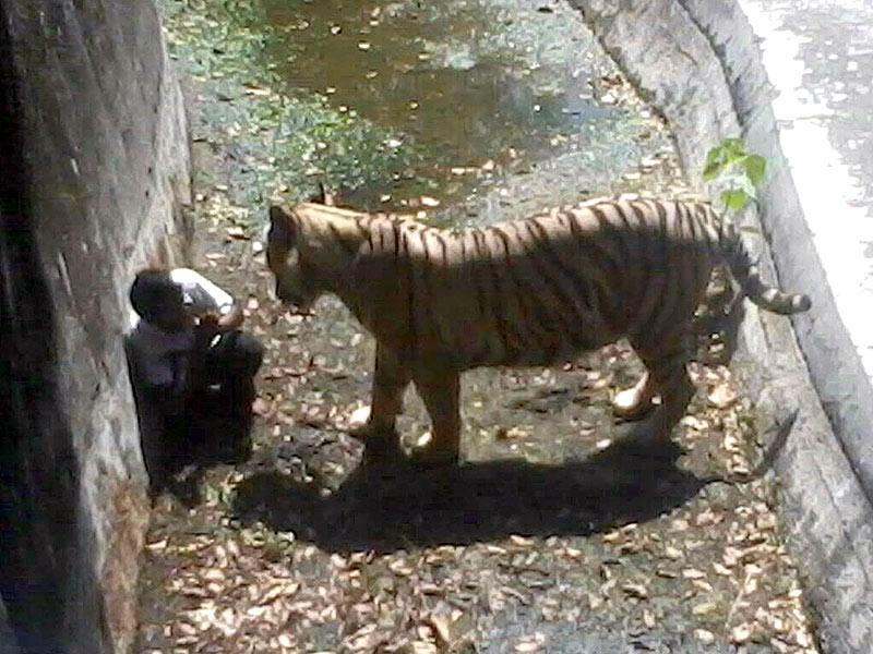 White Tiger Kills Man at India Zoo