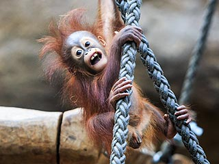 The Daily Treat: This Orangutan Is Seriously Stressed About Its New Year's Outfit