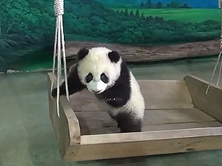 The Daily Treat: Watch the Taipei Zoo Panda Cub Prep for Her Adorable Debut
