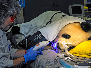 The Daily Treat: Try Not to Smile About This Panda's Visit to the Dentist